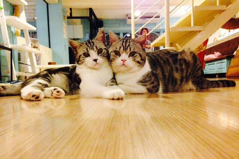 ทาสแมวไม่ควรพลาด B Cat Cafe คาเฟ่แมว จังหวัดภูเก็ต รวบรวมความน่ารักของน้องแมวไว้ด้วยกัน